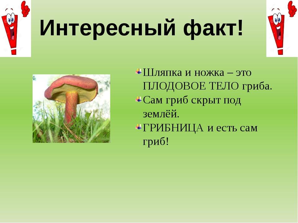 Интересный факт! Шляпка и ножка – это ПЛОДОВОЕ ТЕЛО гриба. Сам гриб скрыт под...