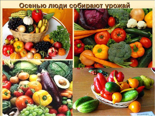 Осенью люди собирают урожай