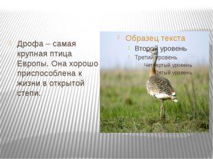Дрофа – самая крупная птица Европы. Она хорошо приспособлена к жизни в откры