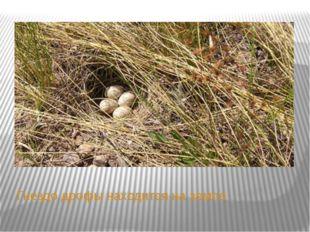 Гнездо дрофы находится на земле