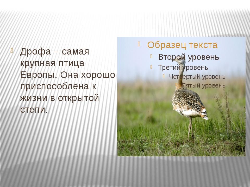 Дрофа – самая крупная птица Европы. Она хорошо приспособлена к жизни в откры...