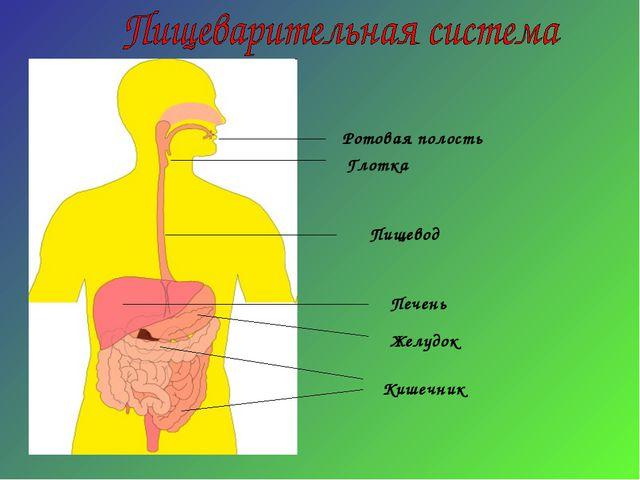 Ротовая полость Глотка Пищевод Желудок Печень Кишечник