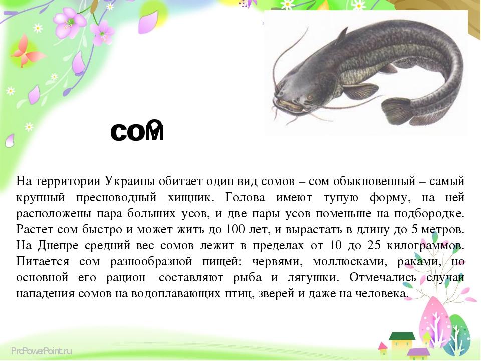 сом со? На территории Украины обитает один вид сомов – сом обыкновенный – сам...