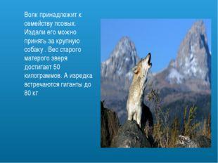 Волк принадлежит к семейству псовых. Издали его можно принять за крупную соба