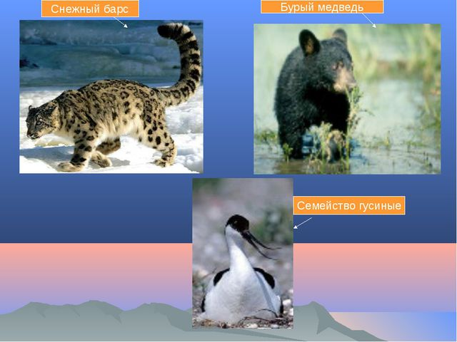 Снежный барс Бурый медведь Семейство гусиные