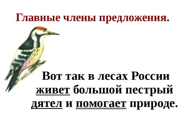 Главные члены предложения. Вот так в лесах России живет большой пестрый дятел...