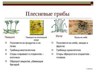 Плесневые грибы Поселяется на продуктах и на почве Грибница многоклеточна Спо