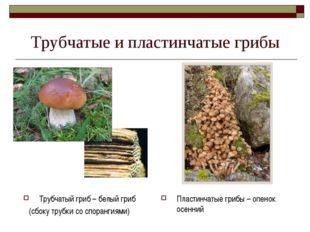Трубчатые и пластинчатые грибы Трубчатый гриб – белый гриб (сбоку трубки со с