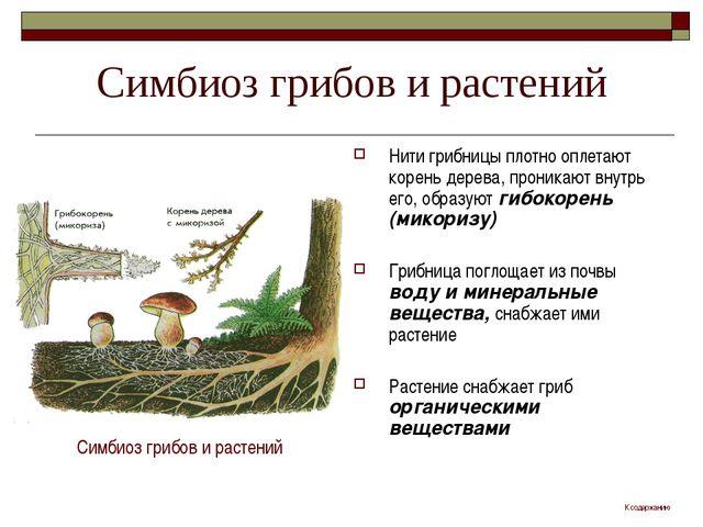 Симбиоз грибов и растений Нити грибницы плотно оплетают корень дерева, проник...