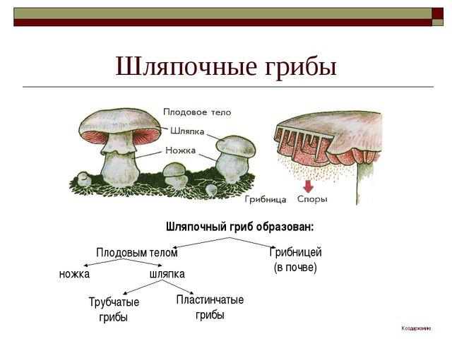 Шляпочные грибы Шляпочный гриб образован: Плодовым телом Грибницей (в почве)...