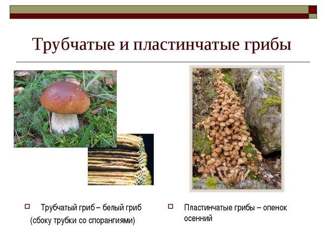 Трубчатые и пластинчатые грибы Трубчатый гриб – белый гриб (сбоку трубки со с...