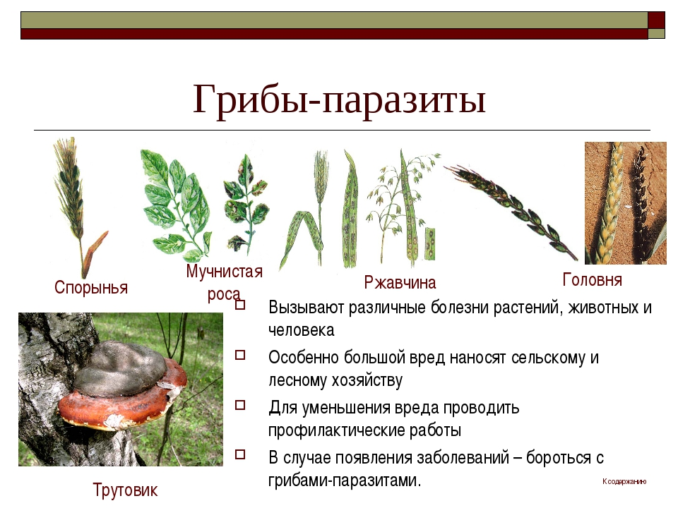 Грибы-паразиты Вызывают различные болезни растений, животных и человека Особе...
