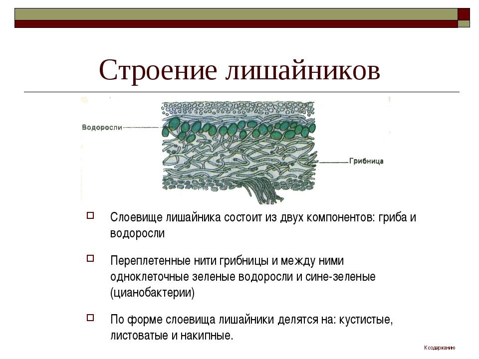Строение лишайников Слоевище лишайника состоит из двух компонентов: гриба и в...