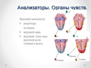 Анализаторы. Органы чувств. Вкусовой анализатор: рецепторы на языке; вкусов