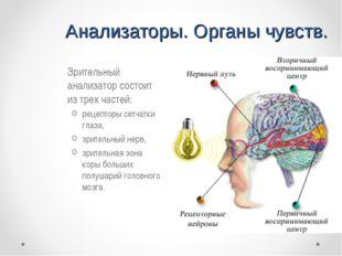 Анализаторы. Органы чувств. Зрительный анализатор состоит из трех частей: ре