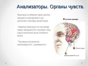 Анализаторы. Органы чувств. Звуковые колебания через органы среднего и внутр