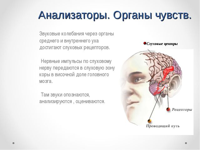 Анализаторы. Органы чувств. Звуковые колебания через органы среднего и внутр...