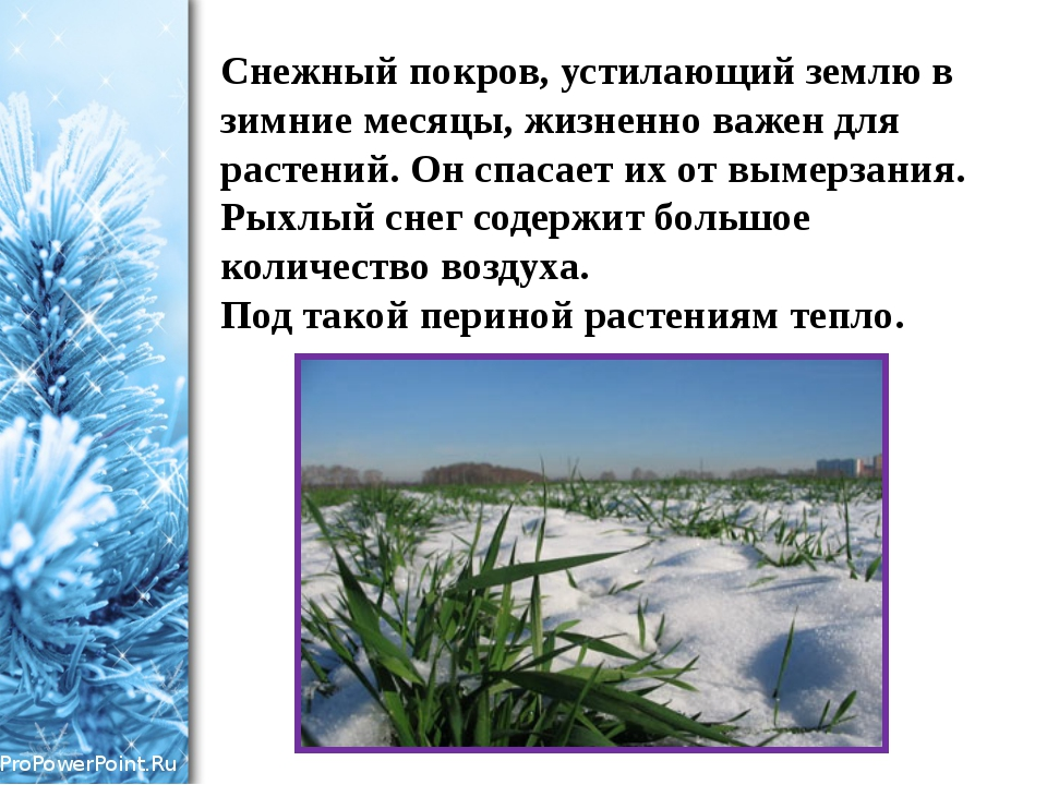 Снежный покров, устилающий землю в зимние месяцы, жизненно важен для растений...