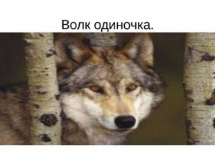 Волк одиночка.