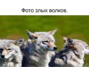 Фото злых волков.