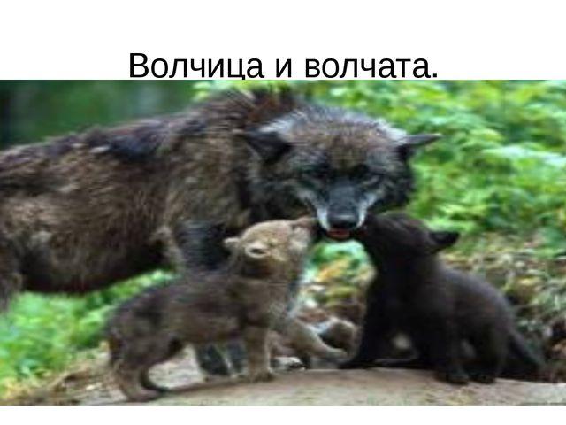 Волчица и волчата.