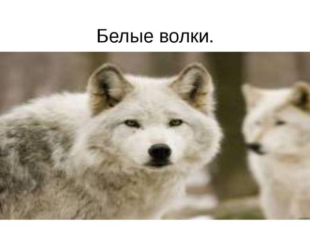Белые волки.