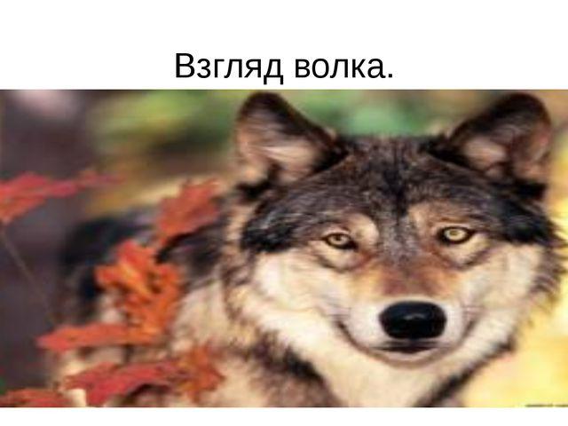 Взгляд волка.