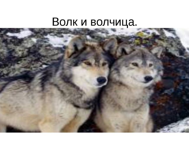 Волк и волчица.