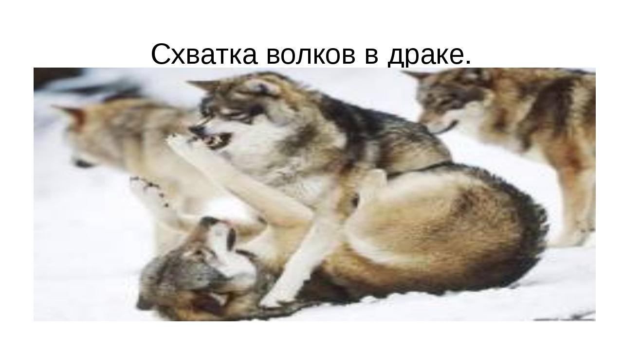 Схватка волков в драке.