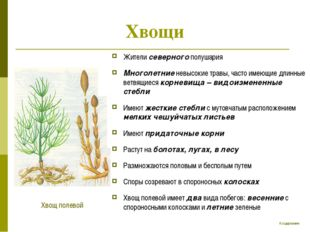 Хвощи Жители северного полушария Многолетние невысокие травы, часто имеющие д