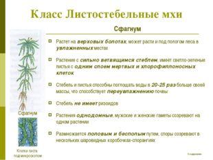 Класс Листостебельные мхи Сфагнум Растет на верховых болотах, может расти и п