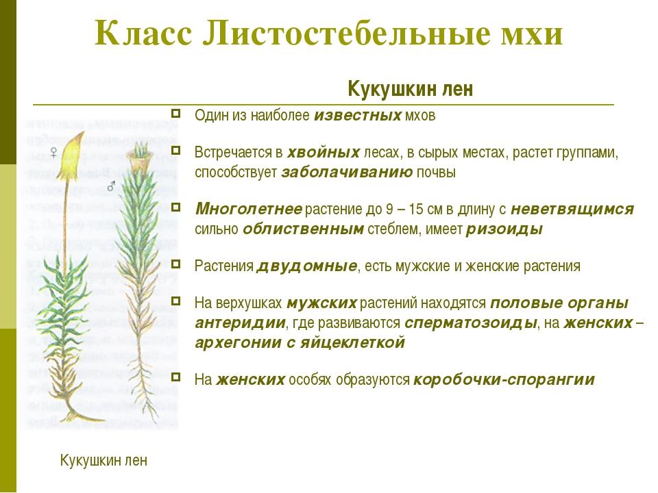 Класс Листостебельные мхи Кукушкин лен Один из наиболее известных мхов Встреч...
