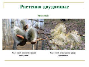 Растения двудомные Растения с пестичными цветками Растения с тычиночными цвет