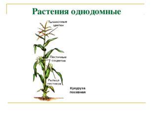 Растения однодомные Кукуруза посевная