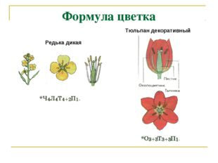 Формула цветка Редька дикая Тюльпан декоративный