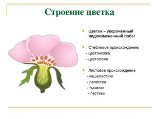 Строение цветка Цветок – укороченный видоизмененный побег Стеблевое происхожд