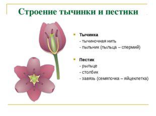 Строение тычинки и пестики Тычинка - тычиночная нить - пыльник (пыльца – спер
