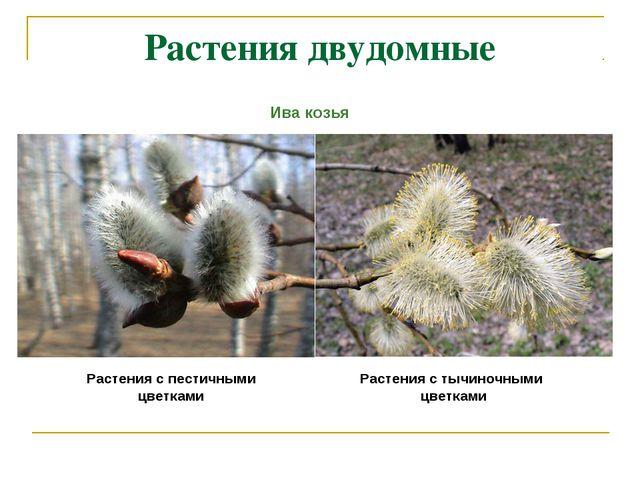Растения двудомные Растения с пестичными цветками Растения с тычиночными цвет...