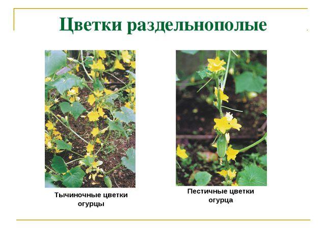 Цветки раздельнополые Пестичные цветки огурца Тычиночные цветки огурцы