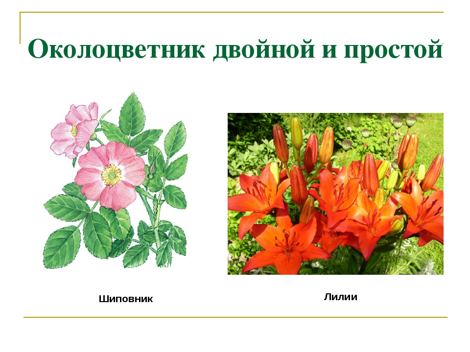 Околоцветник двойной и простой Шиповник Лилии
