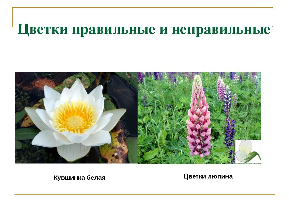 Цветки правильные и неправильные Кувшинка белая Цветки люпина