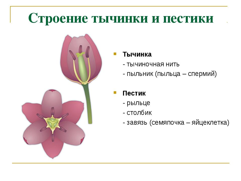 Строение тычинки и пестики Тычинка - тычиночная нить - пыльник (пыльца – спер...