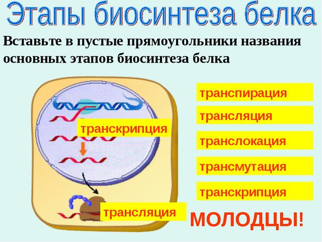 Вставьте в пустые прямоугольники названия основных этапов биосинтеза белка тр...