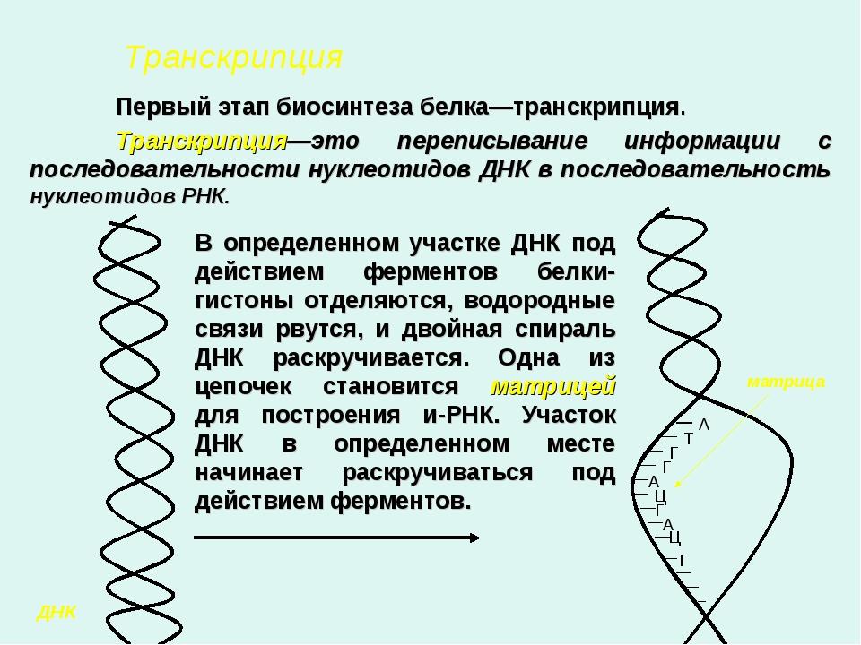 Транскрипция  Первый этап биосинтеза белка—транскрипция. Транскрипция—это...
