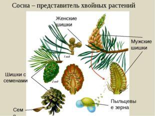 Сосна – представитель хвойных растений