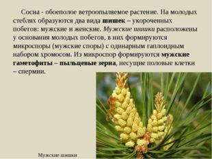 Сосна - обоеполое ветроопыляемое растение. На молодых стеблях образуются два