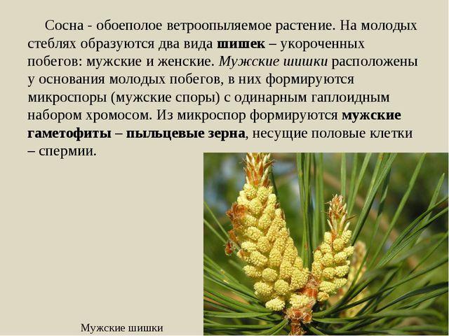 Сосна - обоеполое ветроопыляемое растение. На молодых стеблях образуются два...