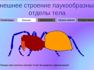 Внешнее строение паукообразных: отделы тела Брюшко Головогрудь Органы зрения