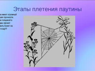 Этапы плетения паутины Паутина имеет огромный потенциал прочности. Паутина то