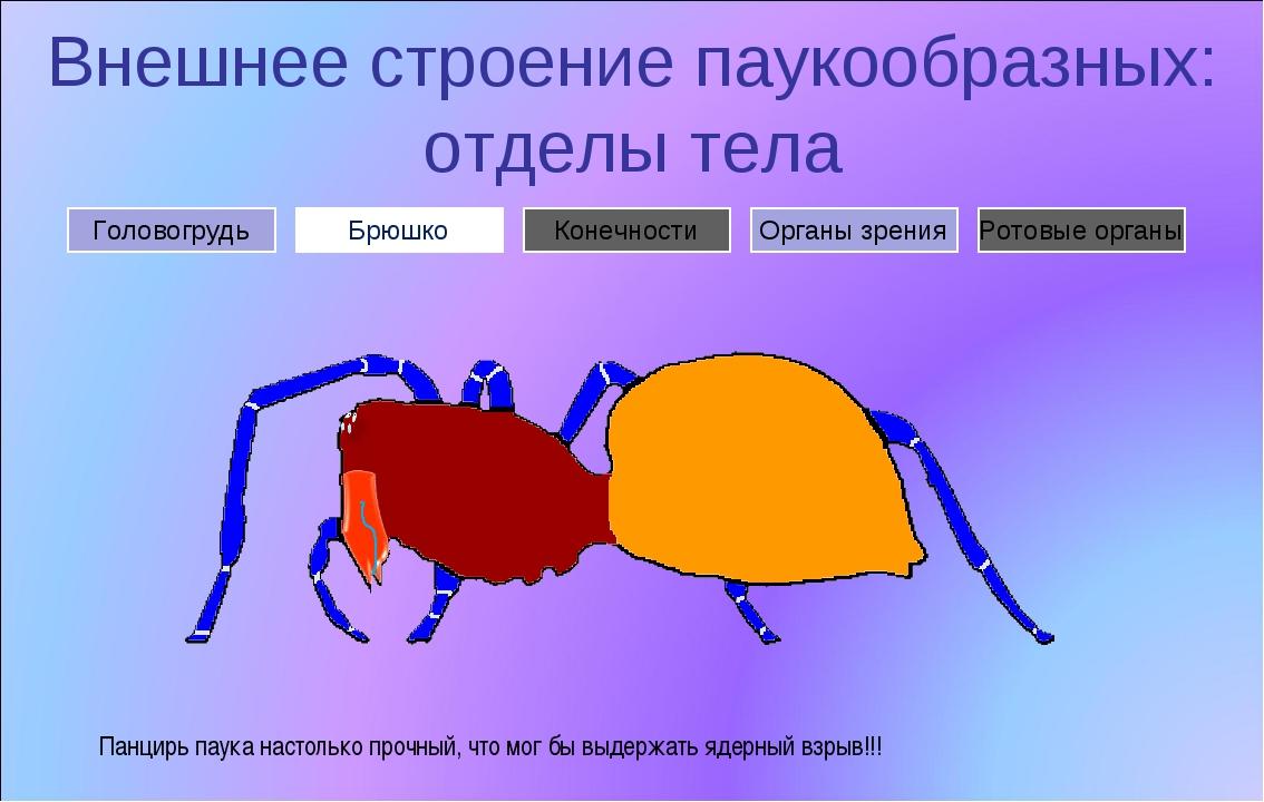 Внешнее строение паукообразных: отделы тела Брюшко Головогрудь Органы зрения...